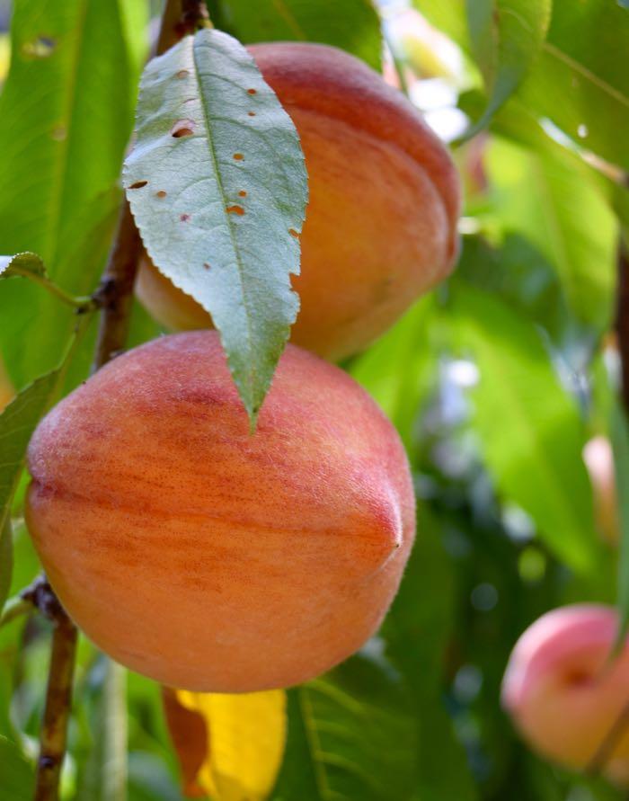 perfect peaches