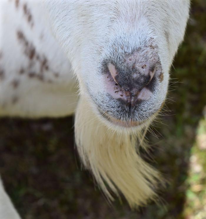 Caper nose