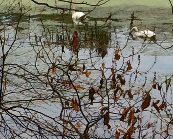 close swans