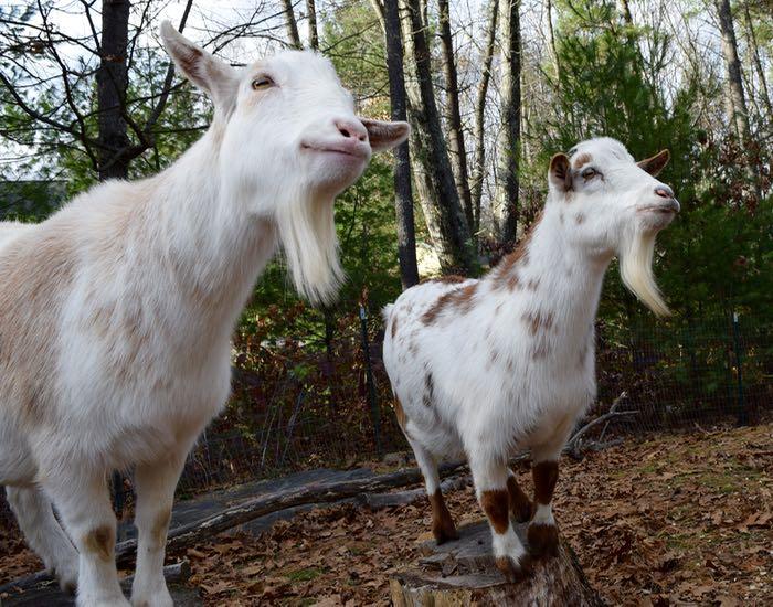 goats wait