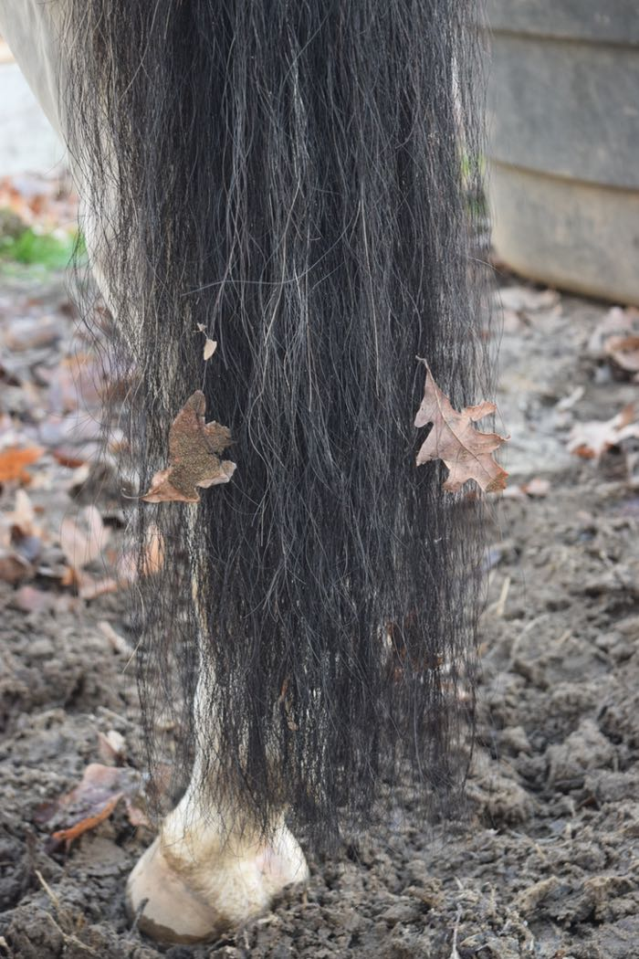 horse tail