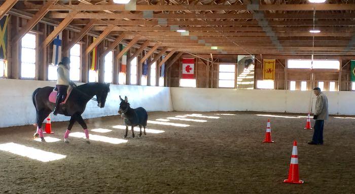 donkey in ring