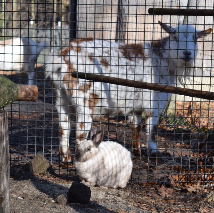 rabbit and goats