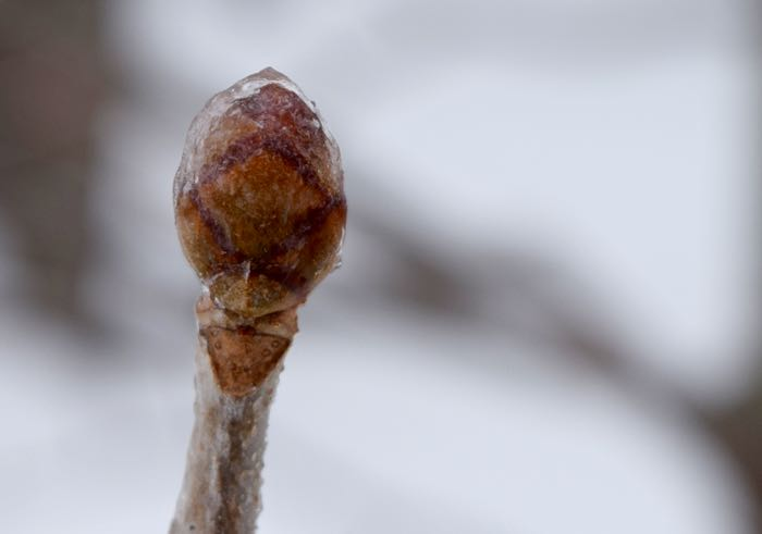 iced bud