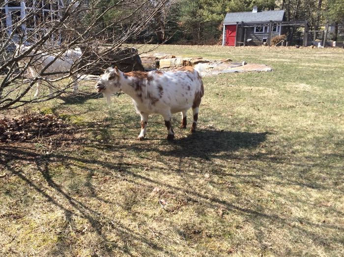 goats eat