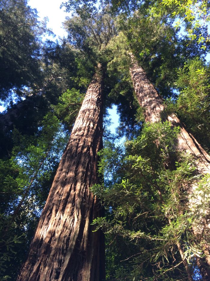 redwoods up