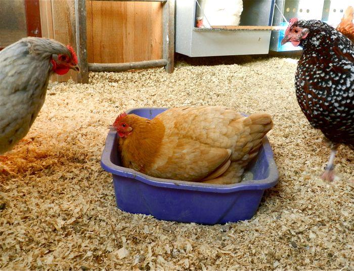 Chicken Lice Hencam