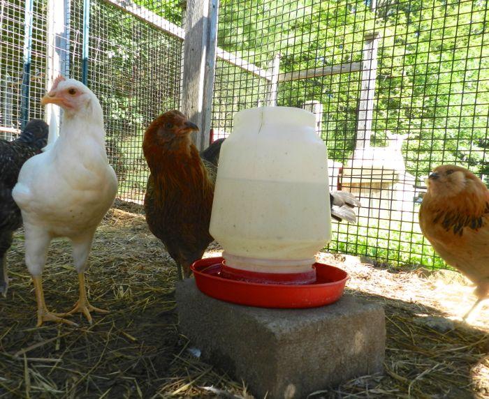 Kenali Jenis Tempat Minum Ayam dan Manajemen Pemberian Air Minumya