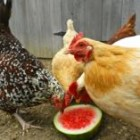hens with watermelon